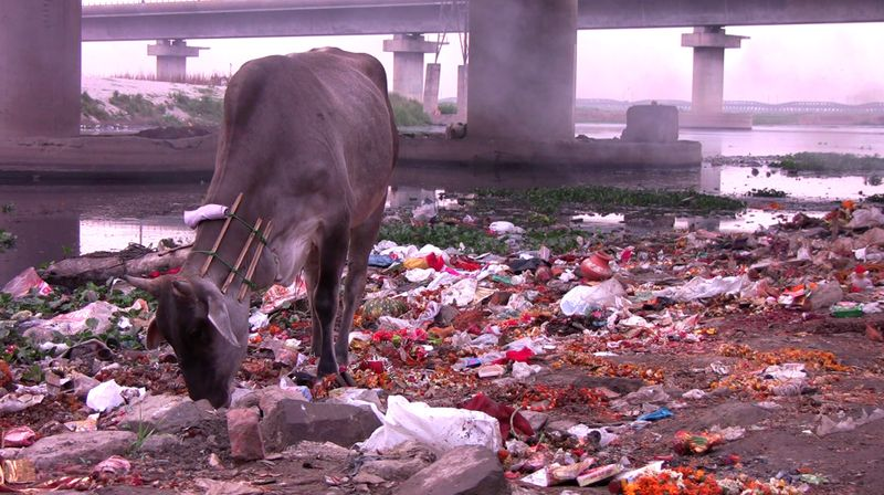 Cow Eats Garbage